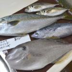 1月下旬の旬のお魚は、ヒラマサ、ヒラソウダ、ウスバハギ、真アジ