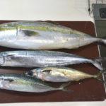 神経締めした、高知県須崎市の鮮魚
